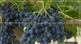 Testing Chemicals - Fresh Table Grapes - exempted - Agricultural Operations - directly related - production - agricultural produce - AAR - Taxscan